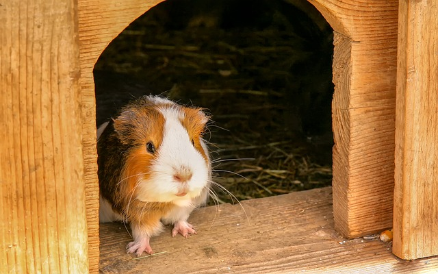 Guinea pig looking out of wooden pet house